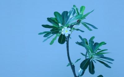 44161815-H1-Frangipani_Flower_1-Quick Preset_1500x1000