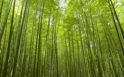 Bamboo Grove 1.tif
