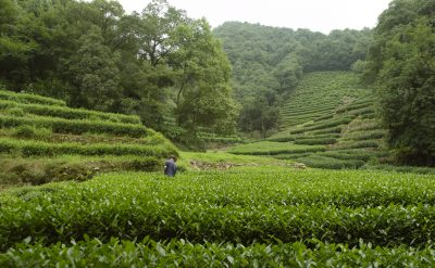 Tea_Longjing Tea Fields 1.tif