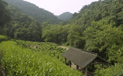 Tea_Longjing Tea Fields 2.tif