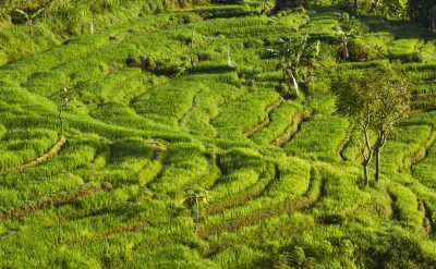 rice fields 2.tif