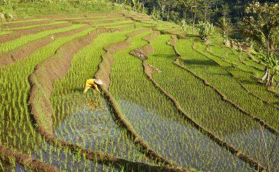 ricefields selegriyo3.tif