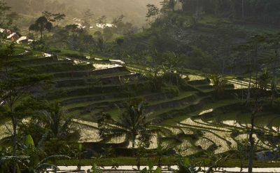 ricefields selegriyo4.tif