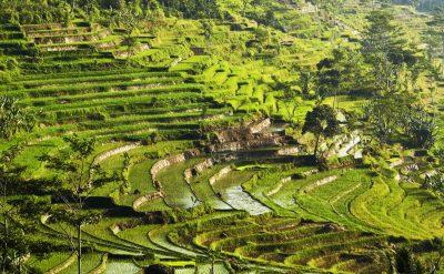 ricefields selegriyo6.tif
