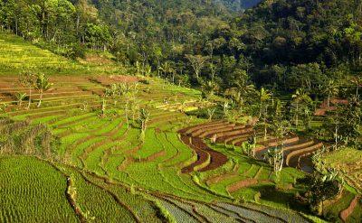 ricefields selegriyo7.tif